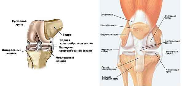строение-коленного-сустава